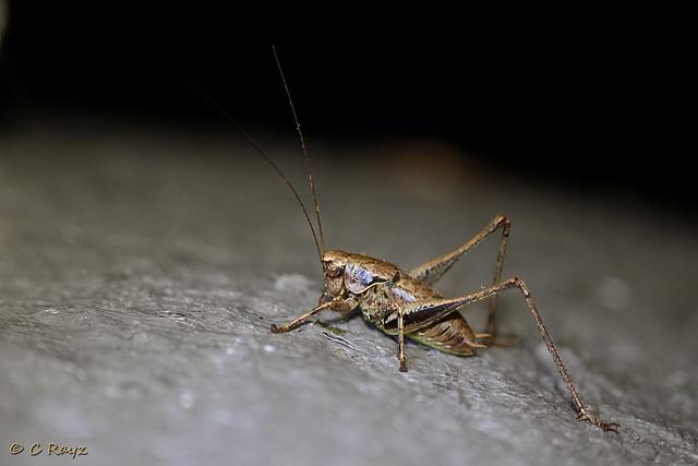 Dark Bush-cricket Male