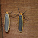 Common and Scarce Footman