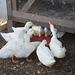 feeding time for the ducks