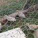 turkey poults at 2 weeks