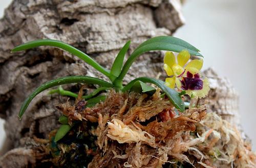 Haraella retrocalla - Gastrochilus retrocalla (6)