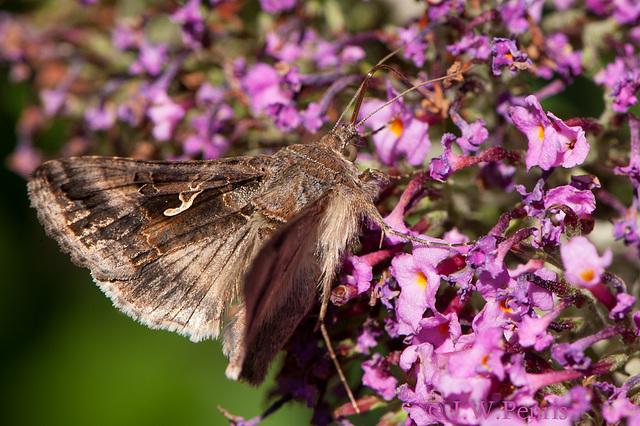 vlinder-4862