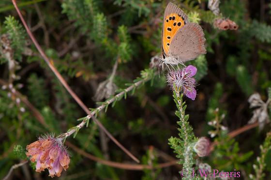 vlinder-5103