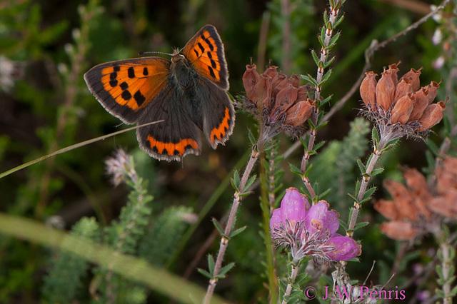 vlinder-5105