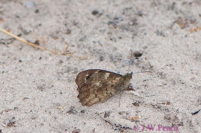 vlinder-5139