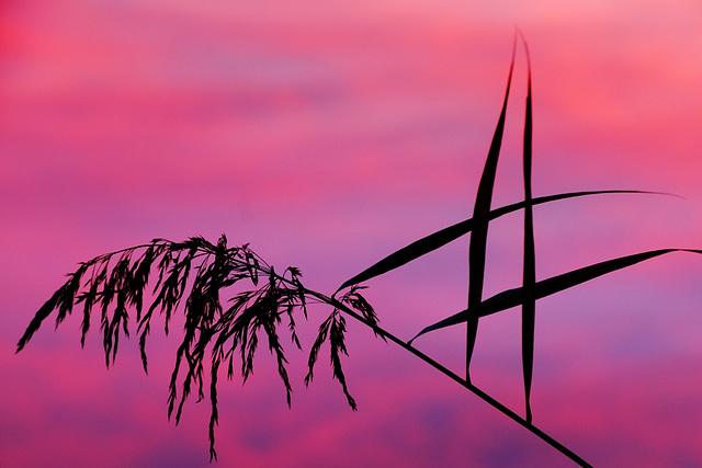 Reed & pink