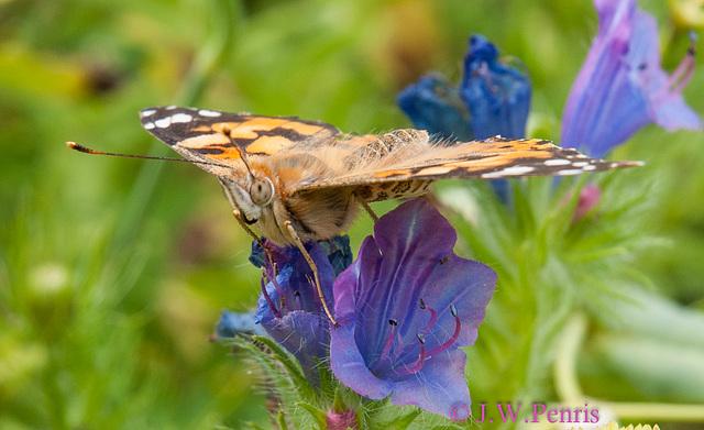Vlinder-5254