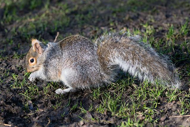 Squirrel in winter light (a)