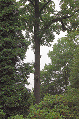alta arbo (hoher Baum)