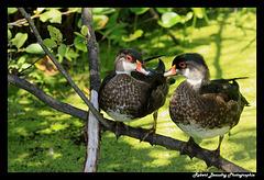 Canard branchu ( jeune de l'année )