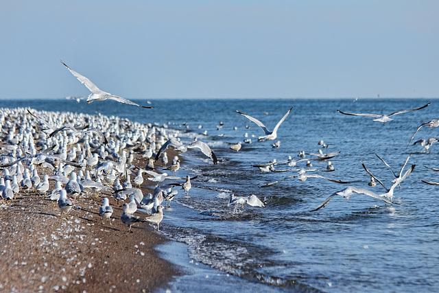 digruntled herring gulls