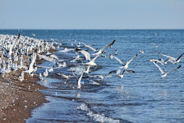 digruntled herring gulls #2