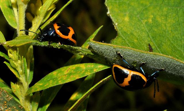 swamp mikweed leaf beetle Labidomera clivicollis-aug 2013DSC 6335