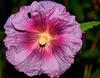 Rose trèmière en HDR