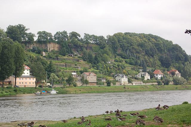 Pirna, Elbo, Grizaj anseroj (Pirna, Elbe und Graugänse)