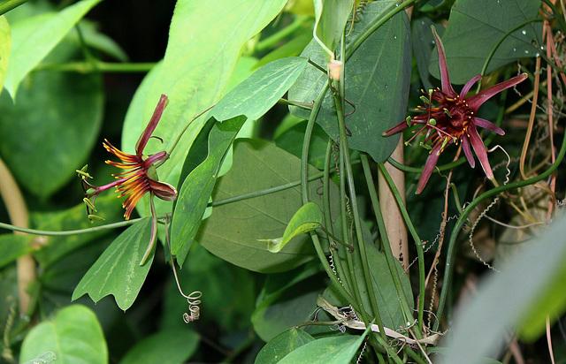 Passiflora 'Sunfire '