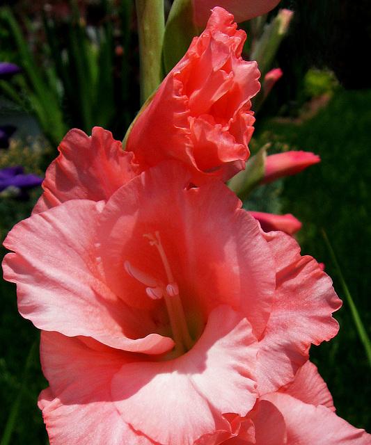 Gladiolus (Explored)