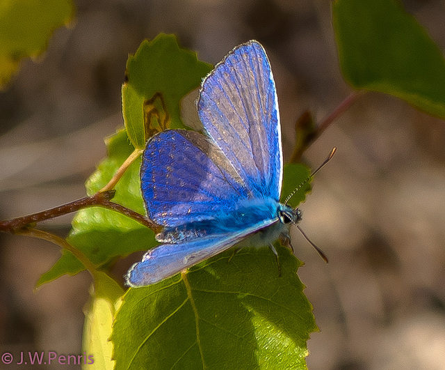 vlinder-7302