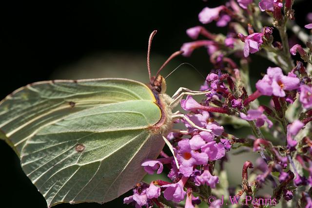 Vlinder-4794