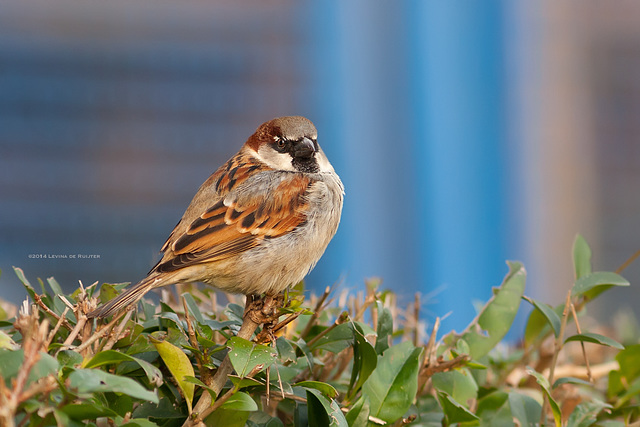 House Sparrow / Huismus (Passer Domesticus)