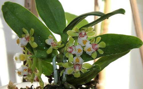 Gastrochilus japonicus 26123389.3d5a623b.500