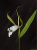Cleistesiopsis bifaria (Upland Spreading Pogonia orchid)