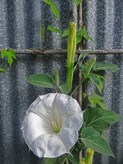 Moonflower in the morning and the grasshopper !