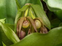 Cypripedium fasciculatum (Clustered Lady's-slipper orchid)