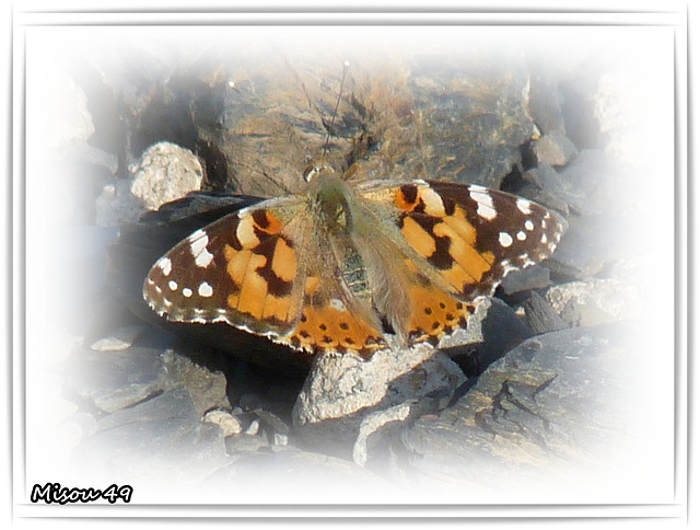 Papillon Belle Dame .