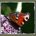 Papillon Paon du jour .