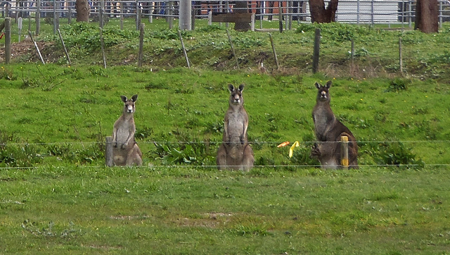 roos in Foster