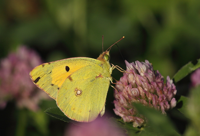 Clouded Yellow (Colias croceus) butterfly