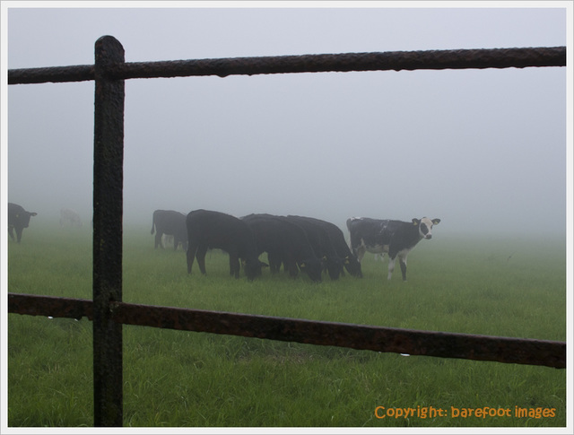 cattle_through_fence