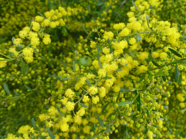 Local Adelaide plains wattle