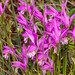 Arethusa bulbosa (Dragon's Mouth orchid)