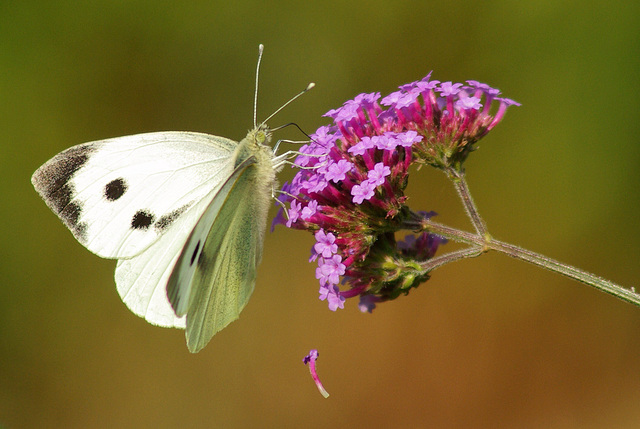 female Large White Butterfly