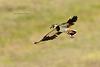 Northern Lapwing / Kievit (Vanellus vanellus)