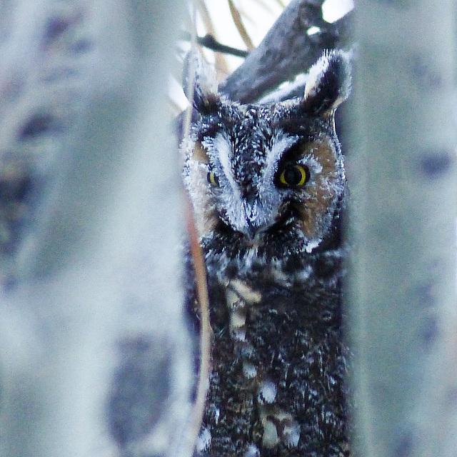Frosty Long-eared Owl
