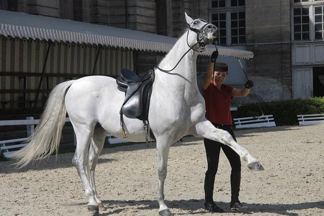 Séance de dressage -Chantilly