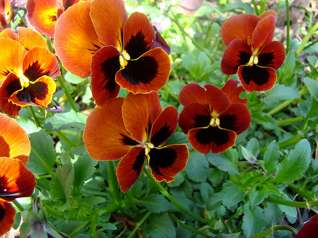 Orange pansies