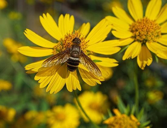 Bee Fly (Bombyliidae Anthracinae Villini)
