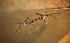 Cranefly Mating Pair