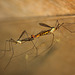 Cranefly Mating Pair