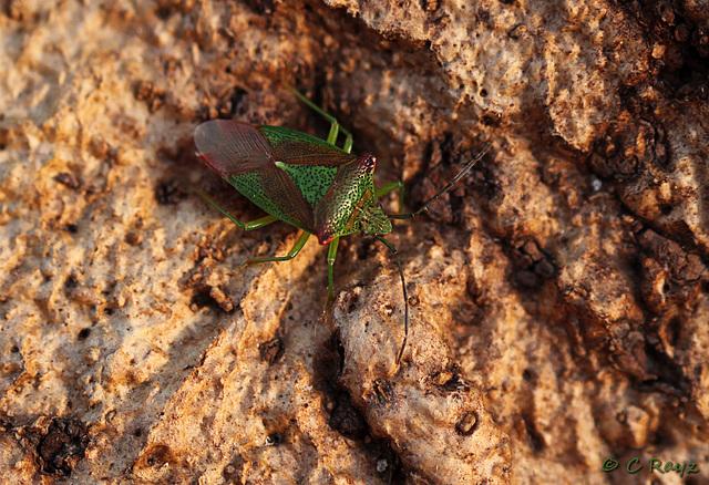 Hawthorn Shieldbug