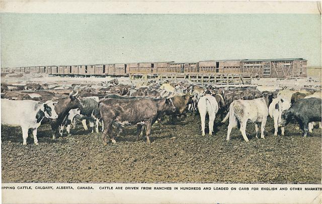 Shipping Cattle, Calgary, Alberta, Canada.