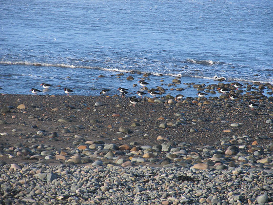 Oyster catchers 1