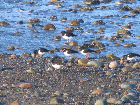 Oyster catchers 2