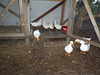 duck training