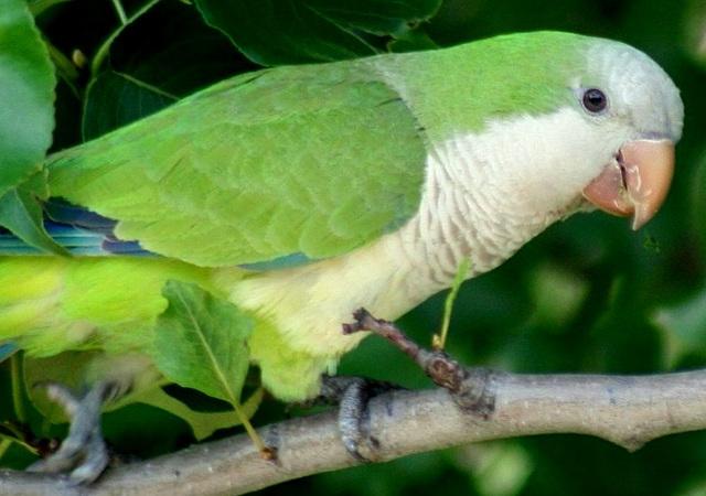 Monk's Parrot