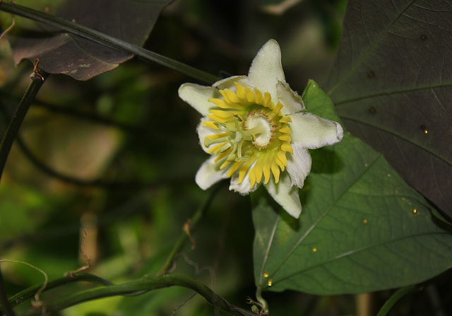 Passiflora biflora (2)